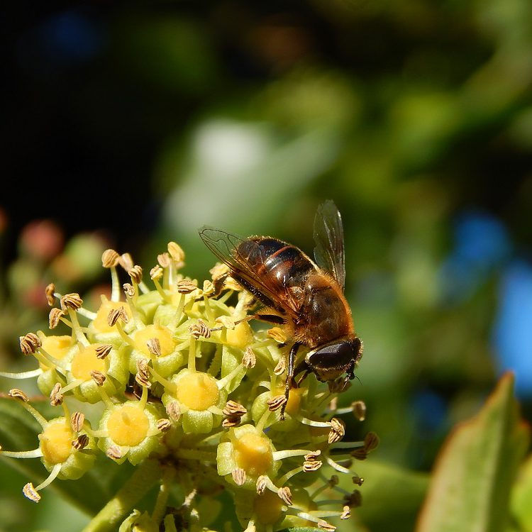 autumn-hoverfly-on-ivy-1635371small